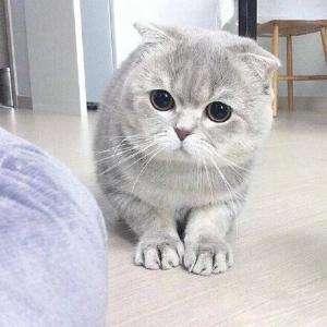 折耳猫表情包